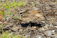 Free Killdeer Protecting Its Nest Stock Photos - 24943803