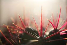 Free A Cactus With Striped Pricks. Stock Images - 24961874