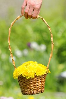 Free Hand Holding Basket With Yellow Dandelion Flowers Stock Photography - 24964532