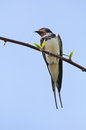 Free Swallow Sitting On Tree Branch Stock Photo - 24976610