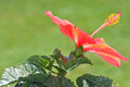 Free Orange Hibiscus Flower Blossom Royalty Free Stock Image - 24983876