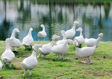 Free Duck Flocks Royalty Free Stock Image - 24980956