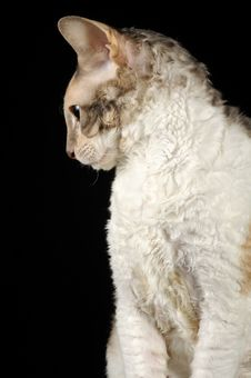 Free Portrait Of Calico Cornish Rex Cat Royalty Free Stock Images - 24984849