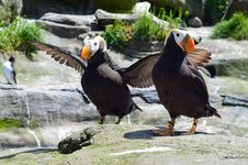 Free Puffins Stock Images - 24986794