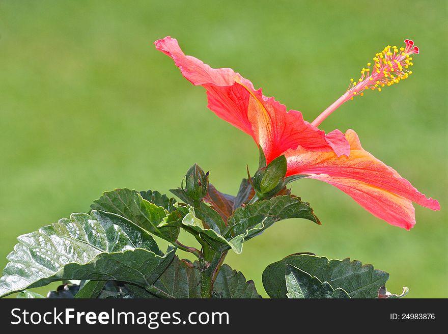 Orange Hibiscus Flower Blossom