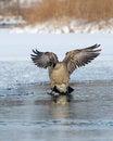 Free Landing Goose Royalty Free Stock Photo - 24990205