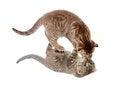 Free Scottish Kitten Fold Walking By Mirror Stock Images - 24992254