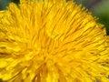 Free Dandelion Flower Stock Photos - 24997743