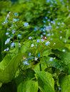 Free Forget-me-not Royalty Free Stock Images - 24997779