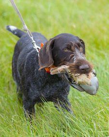 Free Dog With Chukar Stock Image - 24990021