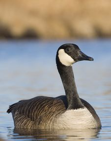 Free Swimming Goose Stock Image - 24990241