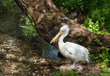 Free Pelican. Royalty Free Stock Image - 24990496