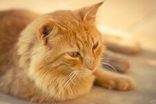 Free Closeup Of A Ginger Tabby Cat Stock Image - 24993811