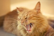 Free Closeup Of A Ginger Tabby Cat Royalty Free Stock Image - 24993816