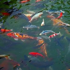 Colorful Carps Stock Photo