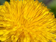 Free Dandelion Flower Stock Photos - 24997743