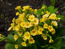 Free Primula Stock Image - 24997801