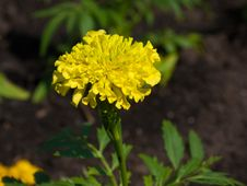 Tagetes Stock Photo