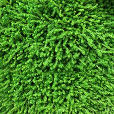 Free Moss Texture Royalty Free Stock Photos - 24998208