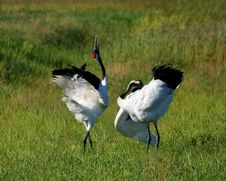 Free Grass On The Red-crowned Crane Stock Photos - 24998883