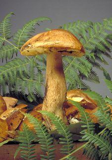 Free Mushroom Stock Image - 251441