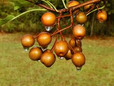 Free Dripping Cherries Stock Photo - 252250