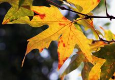 Free Autumn Leaves Royalty Free Stock Images - 253619