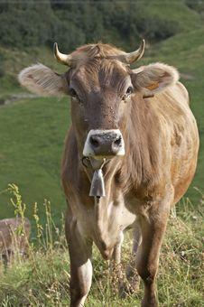 Free Cow Stock Image - 254351
