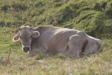 Free Cow Royalty Free Stock Image - 254386