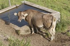 Free Cow Stock Photography - 254452