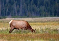 Free Elk Grazing Amongst Flowers Stock Photo - 256520
