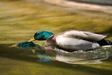 Free Duck Surfing Royalty Free Stock Photography - 256647
