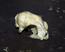 Free Rodent Skull Stock Photos - 256713