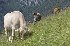 Free Cows Stock Photos - 257033