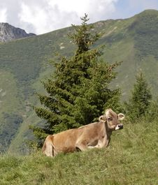 Free Cow Royalty Free Stock Photo - 257035