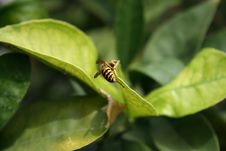 Free Bee On Lemon Tree Leaf Royalty Free Stock Image - 257036