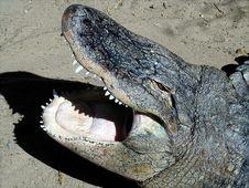 Free Crocodile Stock Photography - 257192
