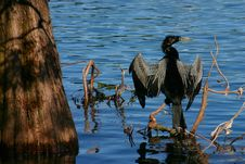 Free Male Anhinga Royalty Free Stock Photos - 257428