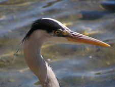 Free Portrait Of A Heron Stock Photo - 258440