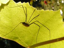 Spider On Leaf Royalty Free Stock Image