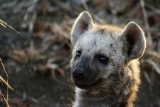Free Hyena Stock Photography - 258662