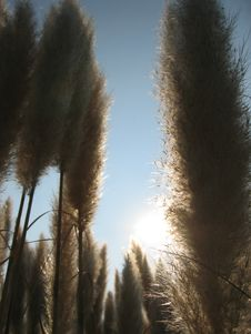 Free Pampas Grass In The Sun Royalty Free Stock Image - 258956