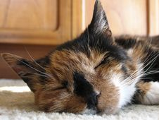Free Tortoishell Cat Royalty Free Stock Photo - 259955