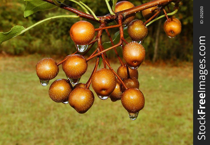 Dripping Cherries