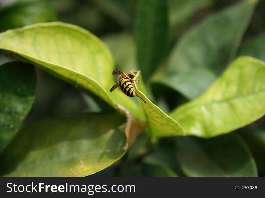 Bee on Lemon Tree Leaf