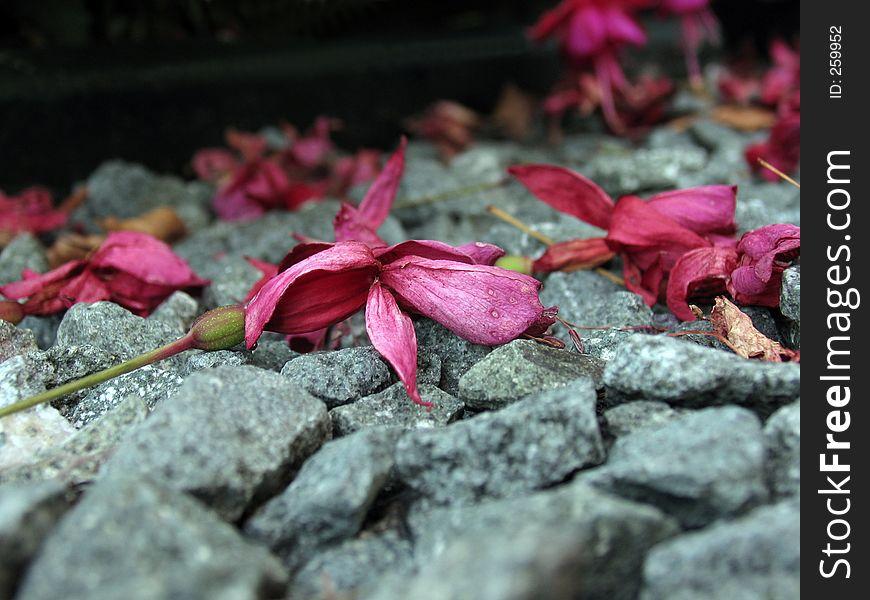 Fuschia on stones