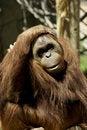 Free Fondness Orangutan Royalty Free Stock Photography - 2503447