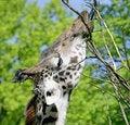 Free Giraffe 2 Stock Images - 2505764