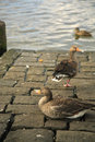 Free Three Ducks Stock Images - 2508184