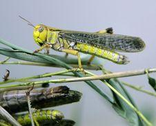 Free Locust 3 Stock Photo - 2500260